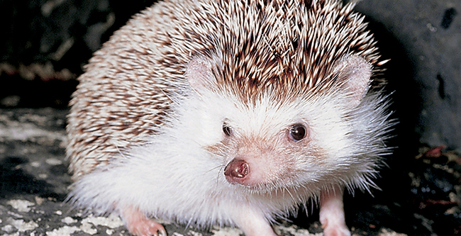 Image of an African Pygmy Hedgehog.