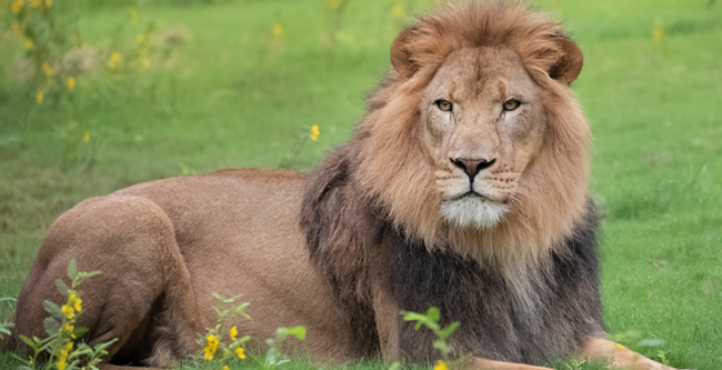 Arnold the lion lays in the grass at Audubon Zoo