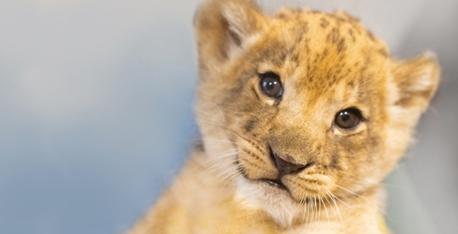 Audubon Zoo's new lion cub