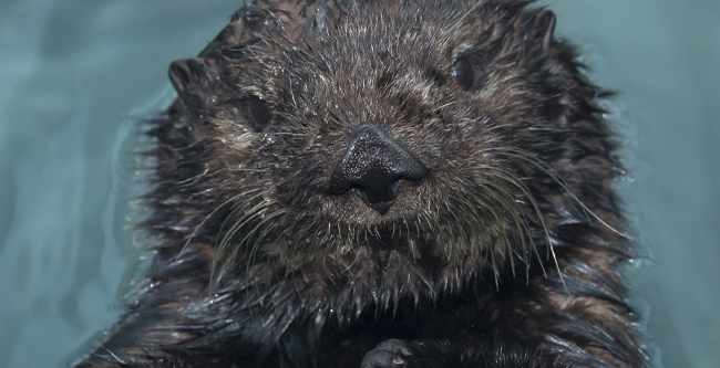 Close up of Ruby the Sea Otter at the Audubon Aquarium of the Americas.