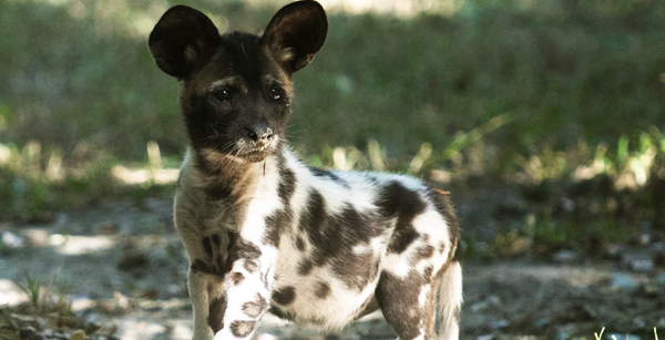 African Painted Dog Pup at Audubon Zoo.