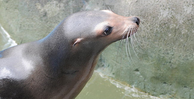 Sideview of a Sea Lion at the Audubon Aquarium of the Americas.