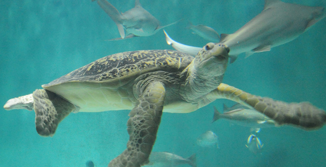 King Midas, an endangered green sea turtle, swims around his home at the Aquarium of the Americas in New Orleans.