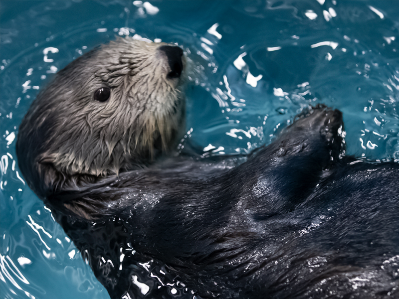 Aquarium Sea Otter Exhibit